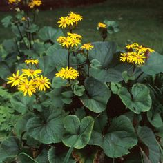 Long-blooming Perennials The Effective Pictures We Offer You About Perennials p. - Anime Line Zone 5 Plants, Bog Plants, Shade Garden Plants, Long Blooming Perennials, Perennial Grasses, Flowers Perennials, Leopard Plant, Front Yard Plants, Natural Garden