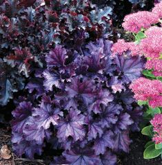 New for 2016: Heuchera (Coral Bells) 'Forever Purple' has vibrant and glossy purple foilage and purple-pink summer-borne flowers. Photo courtesy of Growing Colors.