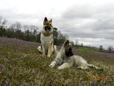 Nukka Longhaired GSD 2 years old and Shaylee Shiloh Shepherd 13 weeks old