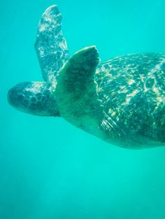 Swimming with sea turtles in the Galapagos Islands