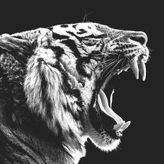 Roaring Tiger als Poster von Wouter Rikken Animals Beautiful, Cute Animals, Tiger Drawing, Colored Pencil Artwork, Poster Online, Animal Posters, Mundo Animal, Warrior Cats, Tattoo Ideas