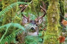 Deer Hunting Tips: Where to Chase Columbia Blacktail Bucks | Outdoor Life