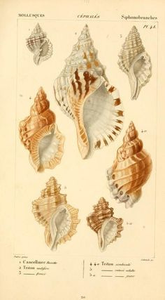 Cancellairidae, Malacozoaires, ou, Animaux mollusques. Biodiversity Heritage Library, conchological illustration.