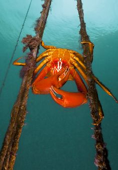 "Talk about color!!! ""A northern kelp crab"" by photographer David Hall for his book ""Beneath the Cold Seas."" via seaphotos"