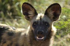Wilde honden hebben opvallend grote oren.