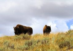 Two bison on a bluff overlooking road watch the tourists below who have stopped to look at a herd of bison along the Yellowstone River in the Hayden valley of Yellowstone National Park. #ShareTheExperience #Bison Vote for this entry here: http://www.sharetheexperience.org/entry/12672517