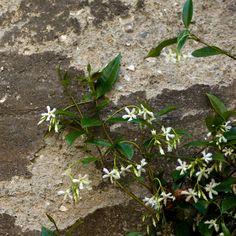 Floración de uno de nuestros jazmines.