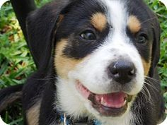 SUCCESS:  ADOPTED!!! Border Collie/Collie Mix Puppy for Sale in Prairieville, Louisiana - Brinkly