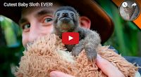 MFS VIRAL VIDS-2: Cutest Baby Sloth EVER!