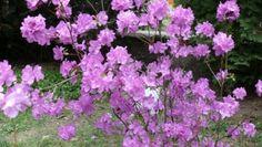 Несколько видов рододендронов с России и Японии уже в Ужгороде