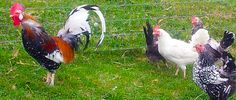 Icelandic Chickens Are A Landrace Fowl