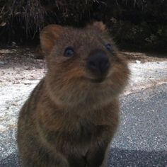Quokka...how adorable is this little baby!!!
