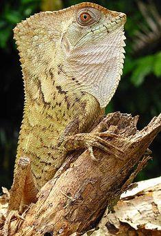 Old-Man Lizard aka Casque-Head Lizard aka Hernandez's Helmeted Basilisk (Corytophanes Hernadezi) - Belize - Source: Kristiina Hurme