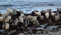 Orkeny Islands, Norther Scotland.  North Ronaldsay Sheep pasture on seaweed! Years ago they were forced to the beach by a sheep-dyke that islanders built to keep them out of their crops and they simply adapted.