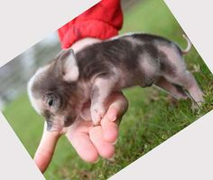 i will be getting a teacup pig when i get married. jordan is allergic to dogs, and pigs are supposed to be smarter than dogs and easier to train. Teacup Piglets, Allergic To Dogs, Pig Drawing, Mini Pigs, Baby Pigs, This Little Piggy, Cutest Thing Ever, Cute Babies, Tea Cups