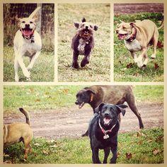 Running out butts off! #evasplaypupspa #dogs #dogcamp #doggievacays #runfree #sillypooches #smilingdogs #runfree #dogsinnature #dogsofinstagram #pitbullsofinstagram #labsofinstagram #lifeisgood #badassbk #adoptdontshop #rescuedog #autumn #sweaterweather #endlessmountains #mountpleasant #PA #pennsylvania