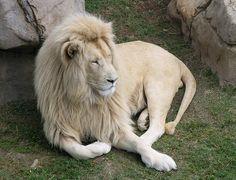Timbavati White Lion at the Cango WIldlife Ranch...