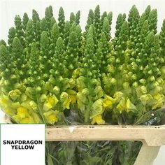 Anitrirrhinums Yellow (Snapdragons) 65cm tall & wholesaled in wraps of 10 stems. The Greek translation for this cut flower is 'like a nose'.
