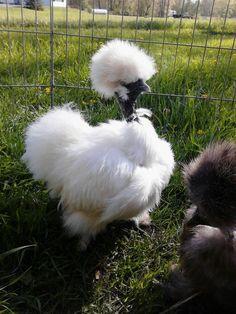 unusual chicken breeds - Google Search