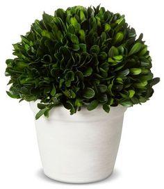 "Smith & Hawken® Medium Boxwood Tabletop Bush in Pot (6"") Smith and HawkenTM"