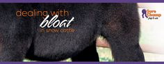 Dealing with Bloat in Show Cattle