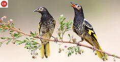 Ăn mật nhiếp chính đông Úc   Regent honeyeater; eastern Australia (Anthochaera phrygia)(Meliphagidae) IUCN Red List of Threatened Species 3.1 : Critically Endangered (CR)   (Loài cực kỳ nguy cấp)
