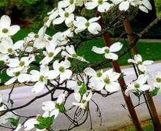 State Flowers Virginia