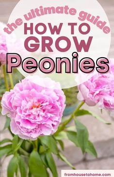 Learn how to grow peonies in your own garden! The peony plant does well in certain climates and zones, particularly if you choose the right location Here's how to grow, feed, care for, and enjoy the peony bush. #fromhousetohome #peonies #gardening #fullsunplants Spring Perennials, Full Sun Perennials, Shade Perennials, Full Sun Shrubs, Full Sun Plants, Peony Bush, Gardening For Beginners, Gardening Tips