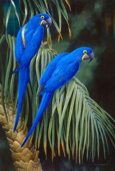 .Ara hyacinthe .ANODORHYNCHUS HYACINTHINUS. Le plus grand perroquet d'Amérique du Sud. Il est le deuxième au monde par sa taille.Son plumage est d'un bleu intense sur lequel tranche le jaune du tour de l'oeil et de la base de la mandibule inférieure.Le bec est gros, très crochu permettant de casser les noix de palmiers et d'autres arbres.