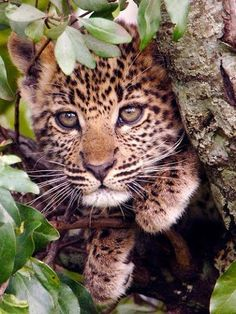 4. Leopard - This baby is hiding in the tree.