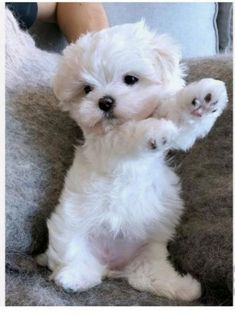 Maltese Dog Big - White Dog Japan - Dog Golden Retriever Names - Types Of Dog French Bulldogs - Dog Training Puppies Super Cute Puppies, Cute Baby Dogs, Cute Little Puppies, Cute Dogs And Puppies, Cute Little Animals, Cute Funny Animals, Cute Cats, Pet Dogs, Pets