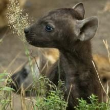 Awwwww.... It's a baby hyena!!!! So cute!!!