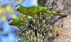 Foto maracanã-pequena (Diopsittaca nobilis) por Lucia Calvet   Wiki Aves - A Enciclopédia das Aves do Brasil
