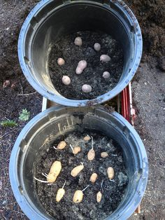 Planting Potatoes in Buckets Fruit Garden, Edible Garden, Garden Planters, Vegetable Garden, Outdoor Plants, Outdoor Gardens, Planting Potatoes, Grow Potatoes, Container Gardening