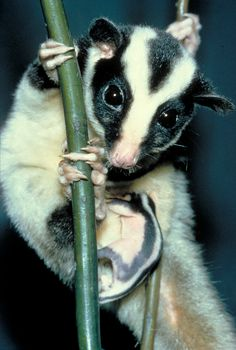 Striped Possum, Australia