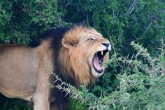 Kruger National Park in Kruger Park, Mpumalanga. The largest game reserve in South Africa, the Kruger National Park is larger than Israel. Kruger National Park, Game Reserve, Lion, Africa, Animals, Leo, Animales, Animaux, Lions