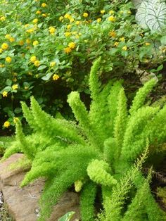Beautiful Foxtail Fern Has a Downside is part of Foxtail fern - Be sure you know where you are planting foxtail fern plants so as not to conflict with other nearby plants They are beautiful and can be lovely specimen plants Florida Landscaping, Florida Gardening, Landscaping With Rocks, Modern Landscaping, Outdoor Landscaping, Outdoor Plants, Front Yard Landscaping, Outdoor Gardens, Landscaping Ideas