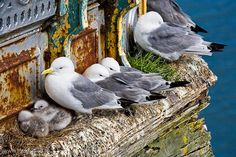 mumbles-guls-3 by Swansea Photographer, via Flickr