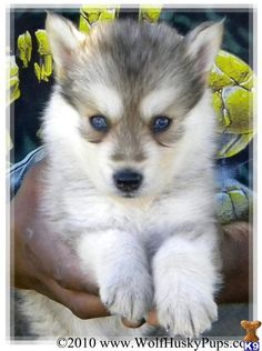 siberian husky wolf mix puppies for sale Husky Wolf Mix, Wolf Dog Puppy, Siberian Husky Mix, Husky Dog, Siberian Huskies, Animals And Pets, Baby Animals, Funny Animals, Cute Animals
