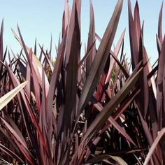 Dusky Chief New Zealand Flax - Santa Clarita Plant Guide Backyard Planters, Patio, New Zealand Flax, Planter Beds, Front Courtyard, Hillside Landscaping, Plant Guide, Plant Images, Green Life