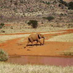 O Parque Nacional Tsavo East no Quénia é um sítio especial. É um dos maiores parques do país e tem 13747 km quadrados! Situado na área semi-árida anteriormente conhecida como o Deserto Taru o Tsavo East está localizado perto da cidade de Voi e conserva manadas enormes de elefantes como este da foto. #tsavoeast #quenia #animais #viagens #viajar #safari #elefantes