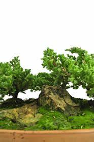 Miniature Trees, Ikebana, Html, Floral Arrangements, Herbs, Image, Gift Shops, Dwarf Trees, Adrenal Cortex