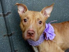 TO BE DESTROYED 11/30/13 Manhattan Center -P  PRECIOUS  #A0985567 Female tan & white pit mix 1 YR 6 MTHS  OWNER SUR- Child conflict 11/21/13  Precious was the baby, now her family has had their own, & thrown her away. A GREAT DOG, energetic, housetrained, lived well w/ cats & people. Food allergies, under weight (why?). She's lost, not clear why she's been left. Calm walker, affectionate, okay w/ dogs. A tiny young girl who is not only starving for food, but  for the love of a forever…