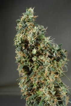 Official catalogue image of First Lady, the third and most recent pure Afghan strain from Sensi Seeds. First Lady has been created from several closely related 'Afghanica' strains originating in the Hindu Kush. Her high pedigree genetic background makes First Lady uniform, thick-budding and hugely potent!  http://sensiseeds.com/cannabis-seeds/sensi-seeds/first-lady
