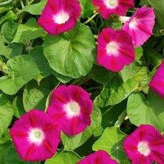 Picotee Morning Glory Bonsai Rare Petunia Bonsai Flower Plant For Home Garden Easy To Grow Volubilis, Summer Flowers, Colorful Flowers, Scarlett O'hara, Climbing Vines, How To Attract Hummingbirds, Garden Items, Covered Pergola, Annual Plants
