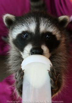 We bottle fed five at one time, I sure miss my babies Baby Raccoon, Racoon, Cute Baby Animals, Animals And Pets, Strange Animals, Cute Rats, Most Beautiful Animals, Tier Fotos, Baby Puppies