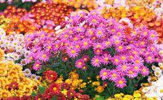Pflanzenporträt Chrysanthemen