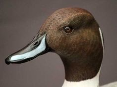 Pintail duck bust close-up