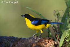 Blue-winged Mountain Tanager - Mindo, Ecuador
