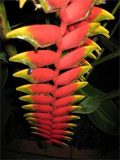 Helicônia, flor tropical do Brasil. O nome do gênero foi estabelecido por Lineu, em 1771, numa referência ao Monte Helicon, situado na região da Beócia, na Grécia, local onde, segundo a mitologia, residiam Apolo e suas Musas.